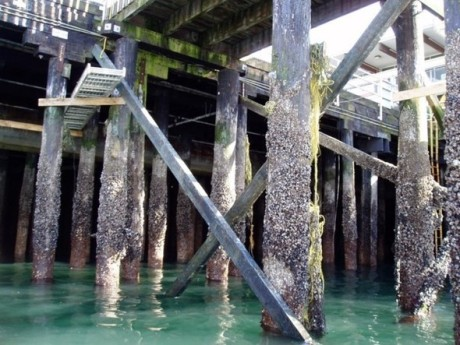 The north side of Colman Dock is supported by old creosote timber piles (pictured here) from the 1930's. That entire section of dock will be demolished and replaced with a new concrete and steel trestle.